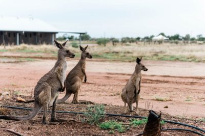 kangaroos at saltbush retreat