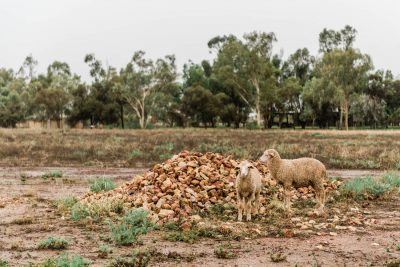 wandering sheep at Saltbush Retreat
