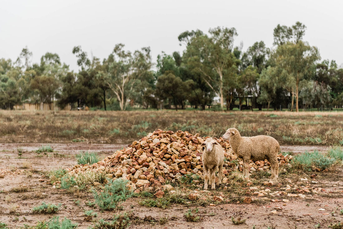 wandering sheep at Saltbush Retreat